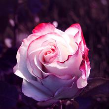 我可是你手中那一朵鲜花