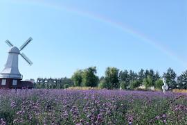 草坪·紫色恋曲