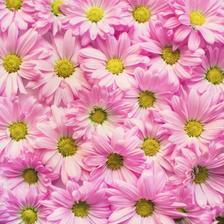 小雏菊的花语是什么 送女朋友代表什么意思