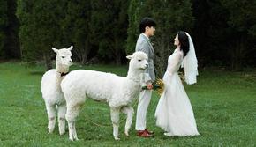 【研发定制】萌宠羊驼婚纱照 ▏一对一服务