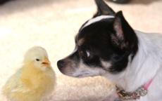 属鸡和属狗的适合做夫妻吗