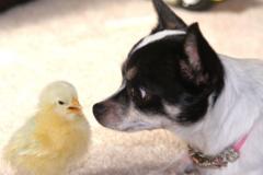 狗和鸡属相合不合