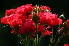 求婚33朵玫瑰代表什么意思