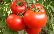 吃西红柿能减肥吗