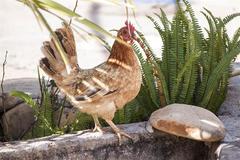 属鸡的和属鸡的婚配好不好 属鸡的婚配表大全