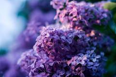 紫罗兰花语是什么,送女朋友合适吗