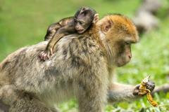 属猴的和属猪的配吗 男猴和女猪会长久吗
