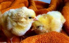 鸡年和什么生肖相配 属鸡人最适宜的婚配对象