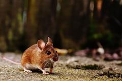 属鼠跟什么属相犯冲  属鼠和什么属相相合