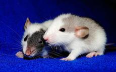 属鼠的几月出生好 属鼠人的婚配表