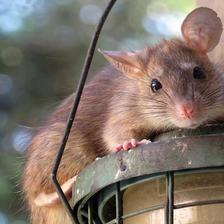 属鼠本命年的大忌  属鼠本命年要注意什么事项