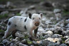 鼠和猪相配婚姻如何 会幸福美满吗