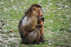 属猴和属鼠的合不合 猴鼠婚配宜忌