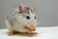 1996属鼠的三大坎是什么