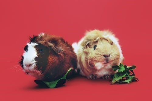 鼠的三合生肖是什么