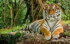 生肖虎和什么生肖相冲 属虎人最不能和这几种生肖结婚