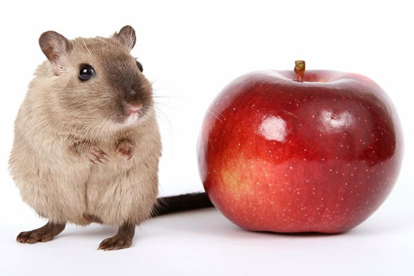 老鼠和苹果
