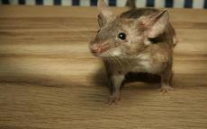 1996属鼠男的一生婚姻运势如何,会有几次婚姻