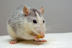 96年属鼠人注定的婚姻状况如何 96年属鼠人多大结婚好