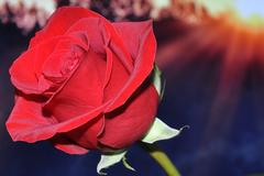 21朵玫瑰代表什么意思
