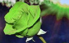 绿色玫瑰代表什么意思