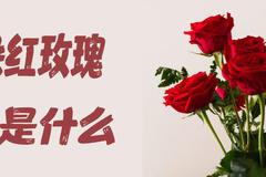 19朵红玫瑰花语是什么