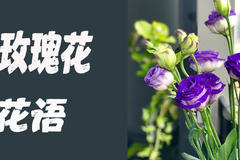 紫色玫瑰花的花语