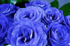 蓝色妖姬代表什么花语