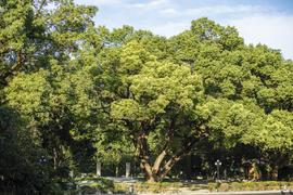 户外百年樟树婚礼仪式