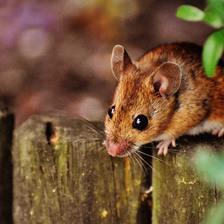属鼠的和什么属相最配 生肖鼠最幸福的婚配属相