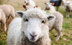 什么生肖最旺羊