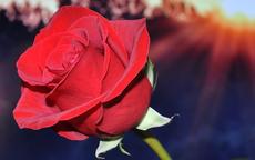 结婚送花送什么花合适